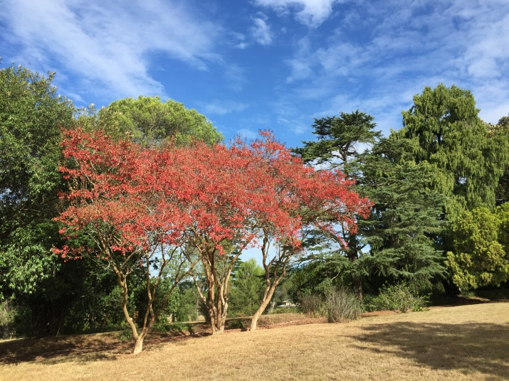 Crepe Myrtles at Rouse Hill House and Farm in full Autumn colour