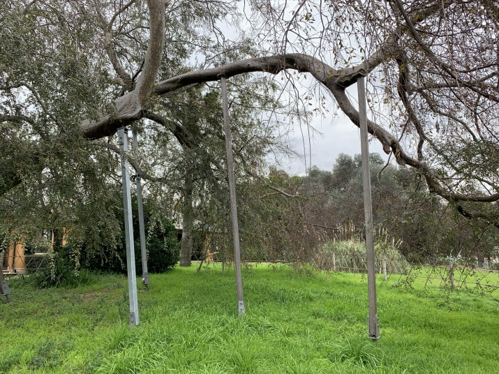 The Chinese Elm at Elizabeth farm has metal and timber props helping to hold up the tree.
