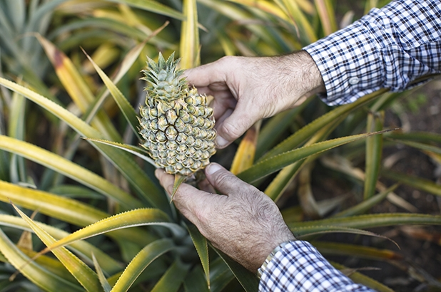 Hands holding pineapple, in kitchen garden at Vaucluse House