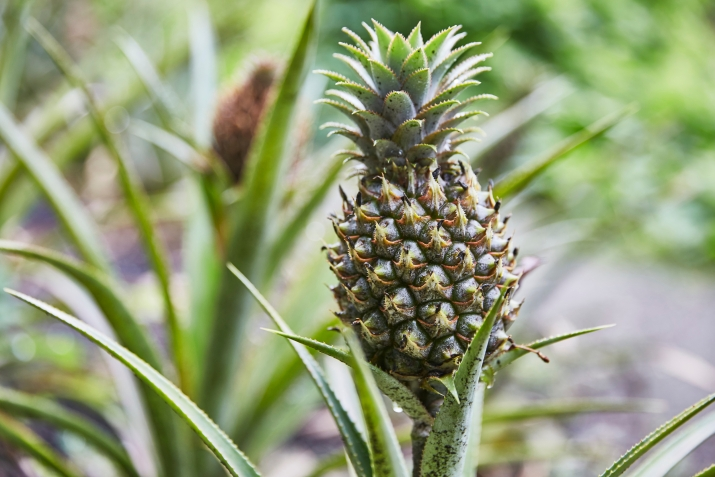 A picutre of a pineapple in a garden