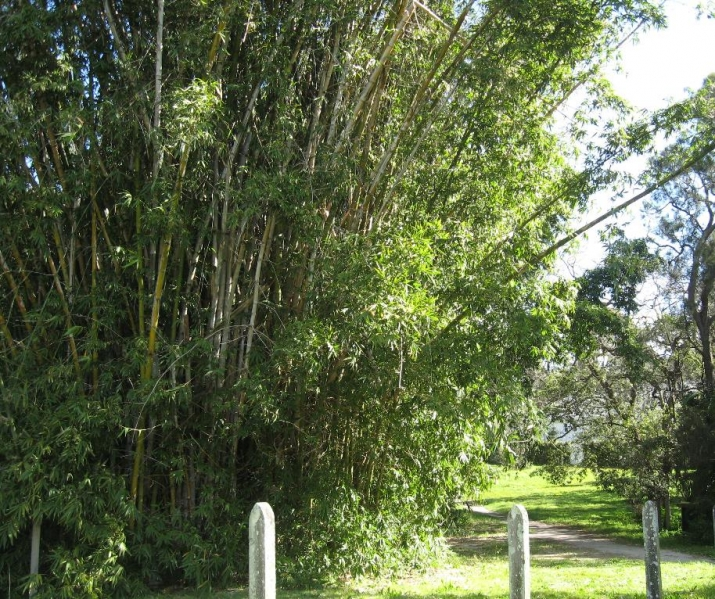Giant culms of bamboo tower into the sky in the Vaucluse beach paddock.