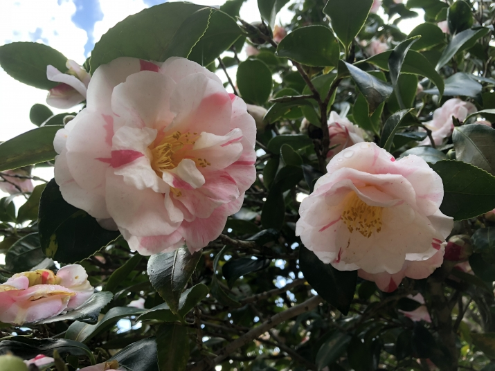 Camellia japonica 'Jean Lyne' in flower at Vaucluse House, showing flower patterning of pinks and whites.