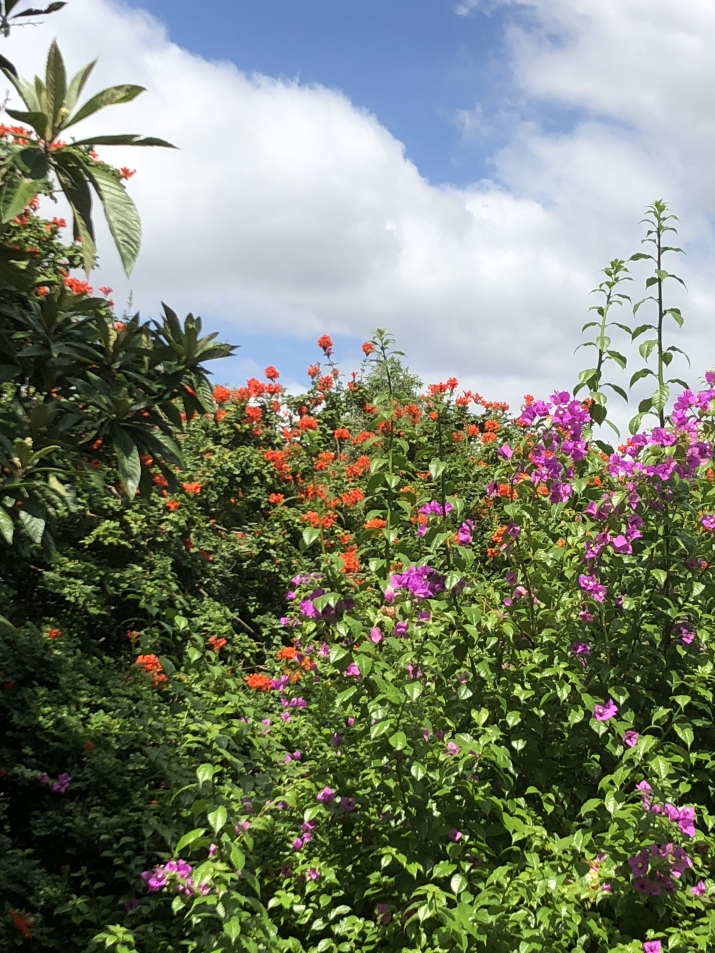 the orange-red flowers of Tecoma capensis clash with the pink-purple from the bougainvillea