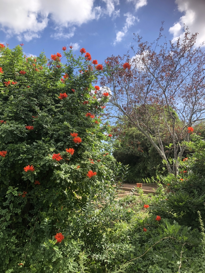 the foreground shows the red-orange blooms of the Tecoma capensis with the contrasting purple foliage of the purple plum tree.