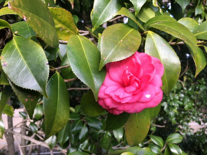 Camellia japonica 'C.M Hovey'. at Vaucluse house is a semi-formal double red/pink cultivar