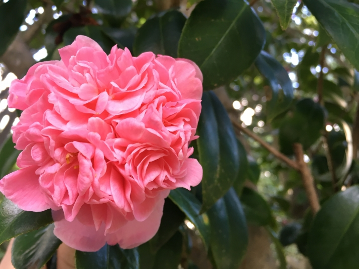 Camellia japonica 'Pompone' at Vaucluse House is a pretty informal double pink flowering variety
