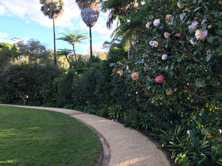 Photo of the gravel path in the Vaucluse House pleasure garden which is lined by camellia cultivars