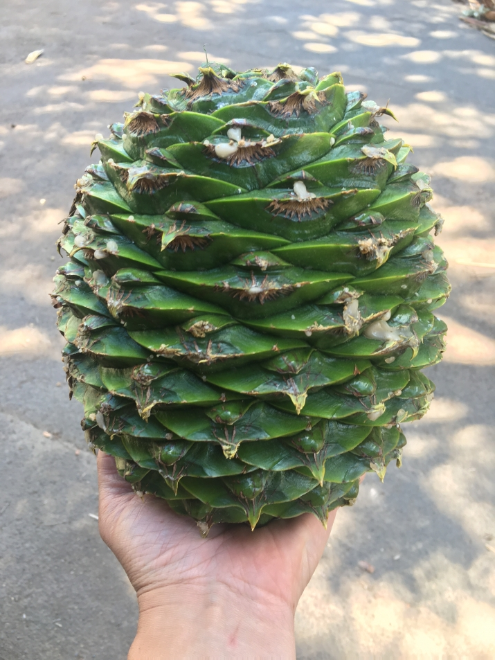 The large size of the Bunya cone is show in the hand of Steve Halliday