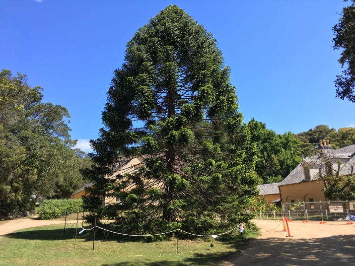 The Bunya Tree at Vaucluse house, showing the exclusion zone around the tree.