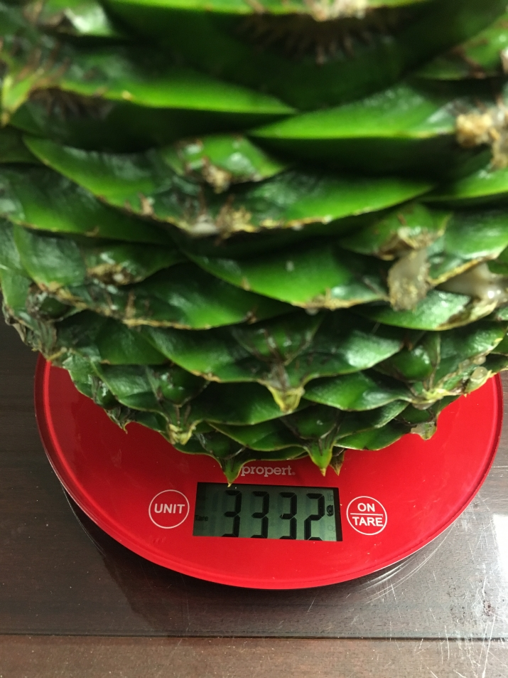 The largest Bunya Cone at Vaucluse House on the scales, weighing in at 3.3kgs