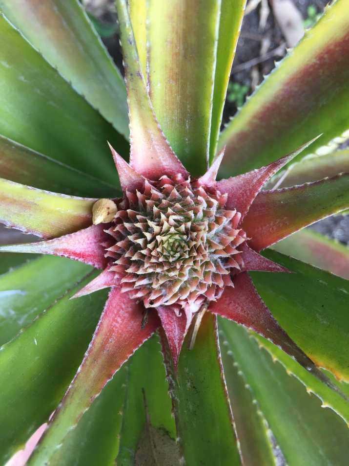 Close up image of the pineapple infloresence in the Vaucluse House Kitchen Garden