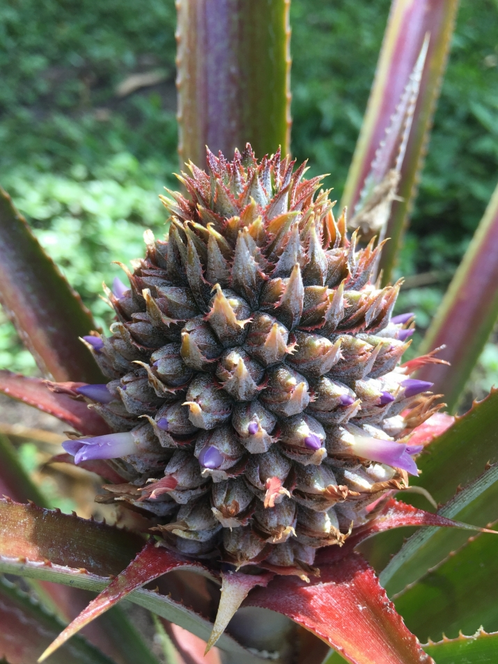 A close up image of the the Vaucluse House pineapple in flower