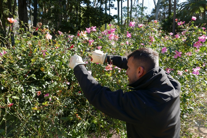Horticulturist Nic prunes the  Rosa chinensis 'Mutabilis' at Vaucluse House.