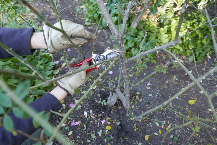 Sharp clean secateurs remove deadwood from a rose at Vaucluse House.