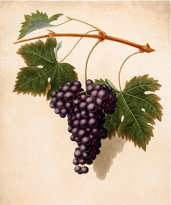 Illustration of bunches of grapes.