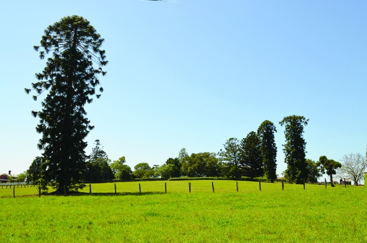View of lush green paddock with pine tree.