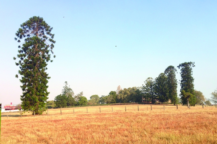 View of dried off grass paddock with pine tree.