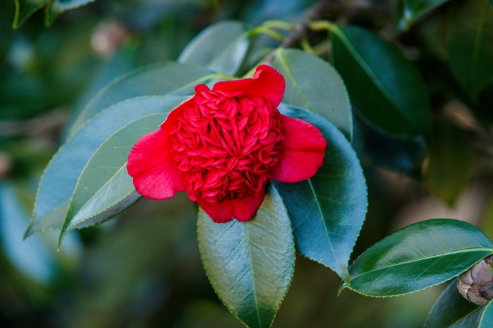 Vivid red waratah-shaped flower with large green leaves.