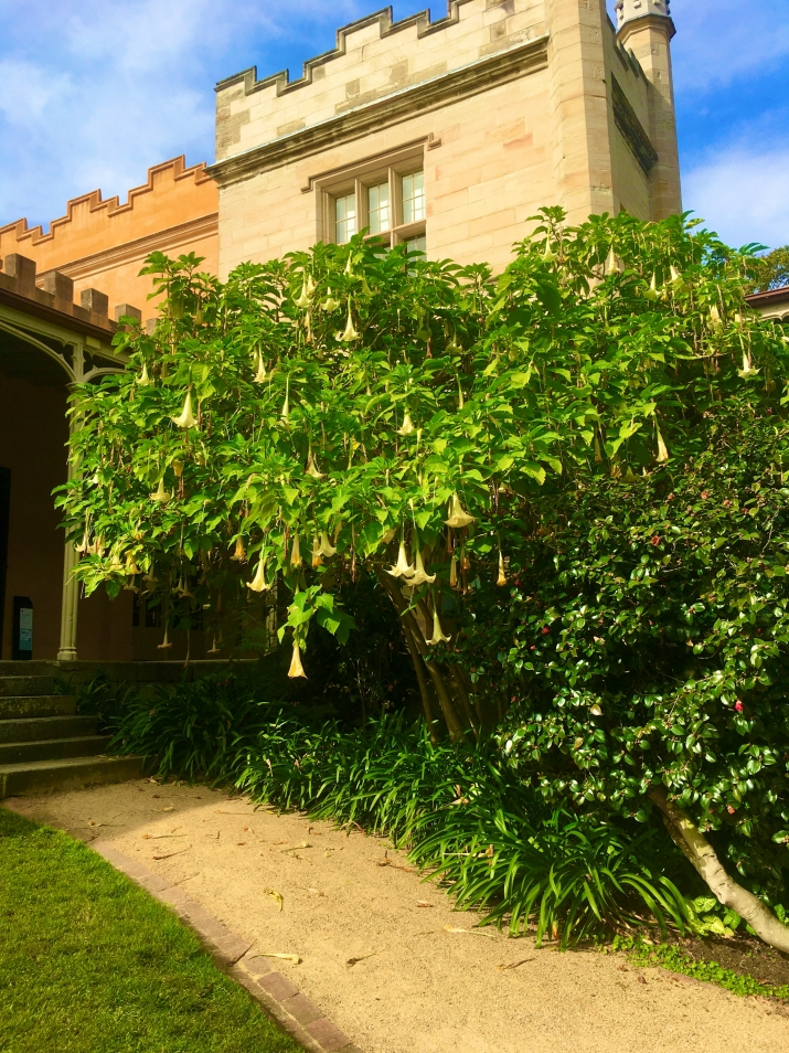the light colour at the top of the image is the sandstone building Vaucluse House. in front of the building is the angles trumpet plant with its off white hanging flowers.