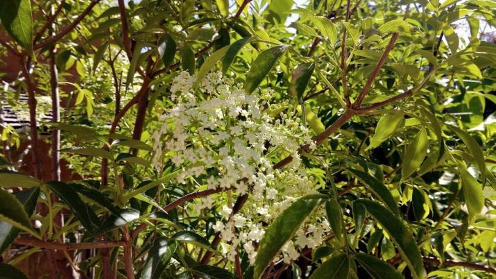 the petite white flowers of the Elderflower at Vaucluse House