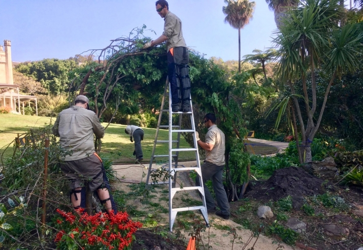 The garden team constructs a new arbour from elm branches at Vaucluse House
