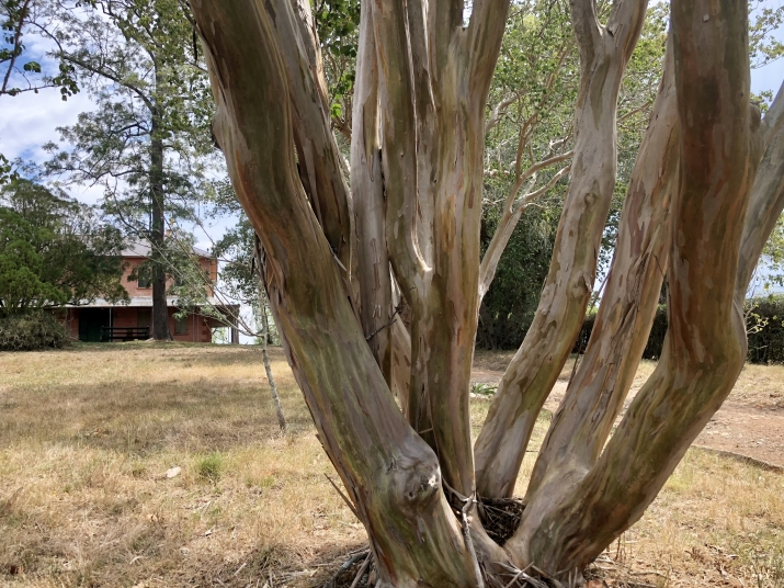 image showing the multiple trunks and interesting bark patterns on the crepe myrtles at Rouse Hill House and farm