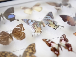 Closeup of glass case with colourful butterflies pinned inside it.
