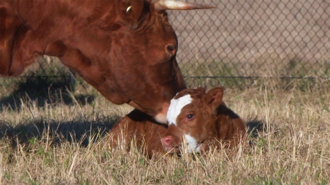 Our new calves at Rouse Hill Estate